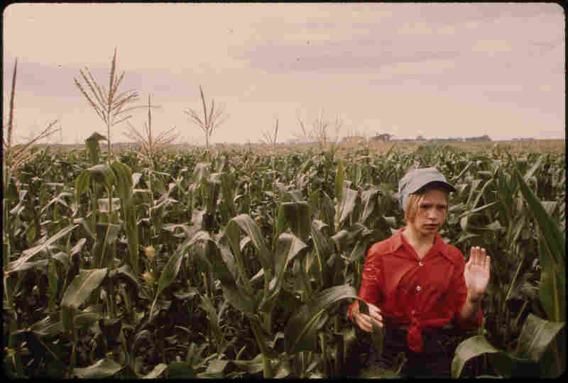 A teenager works cornfields near Ulm, Minn.