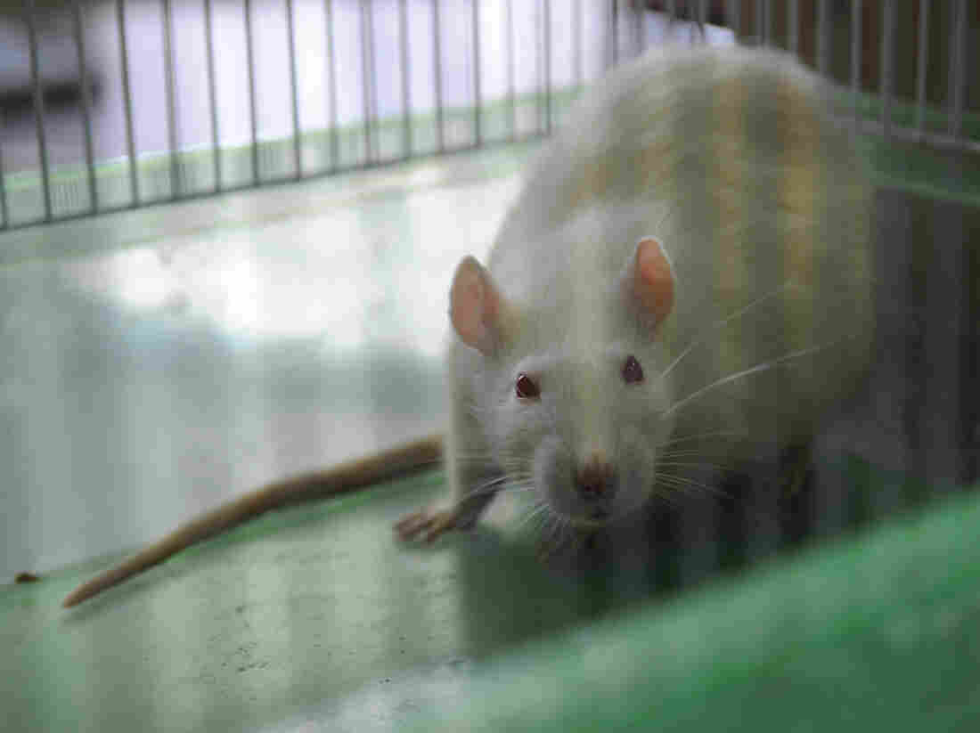 Scientists hope a new genetically modified rat will help them find Alzheimer's drugs that work on humans.