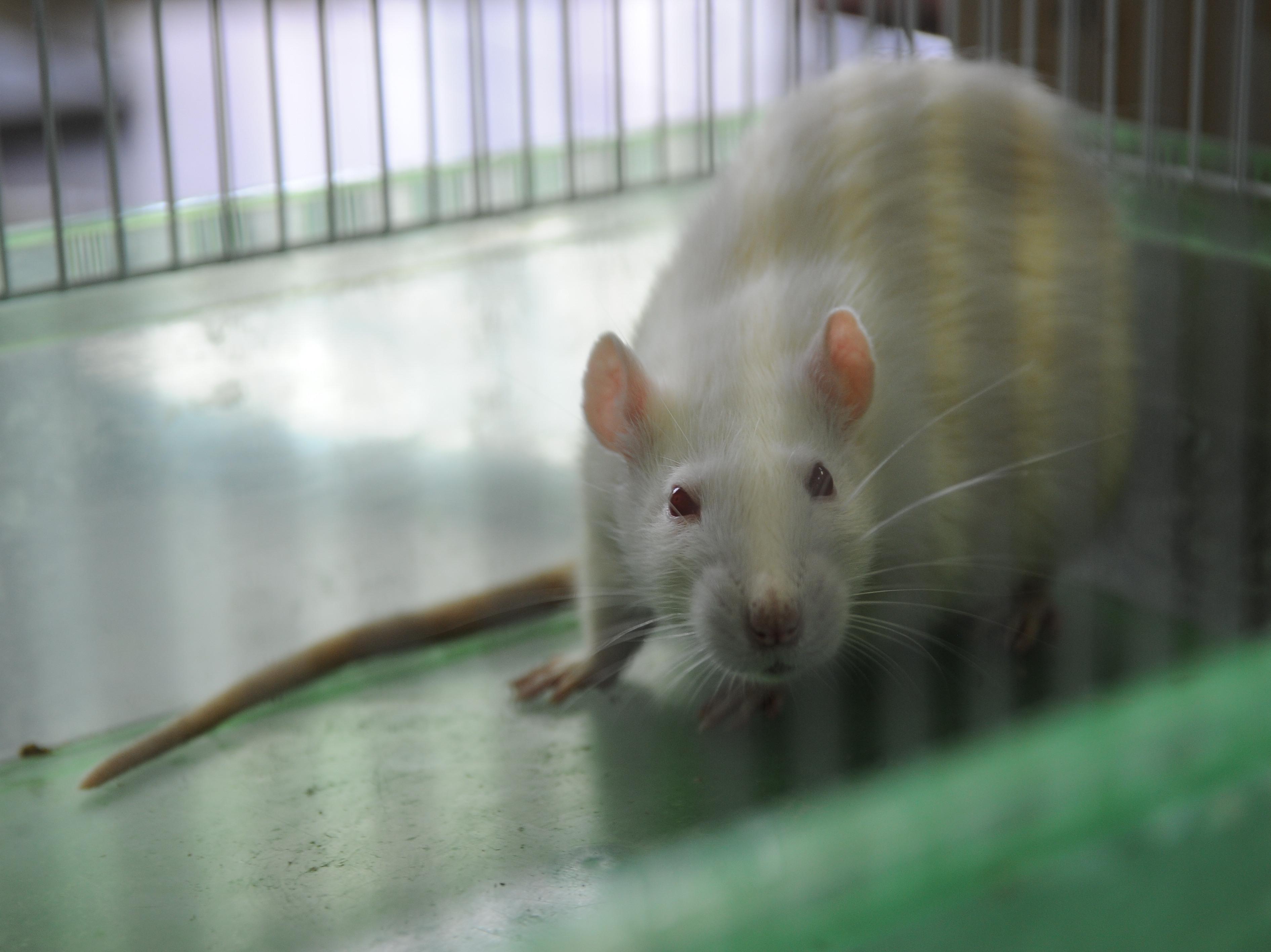 Genetically Modified Rat Is Promising Model For Alzheimer's