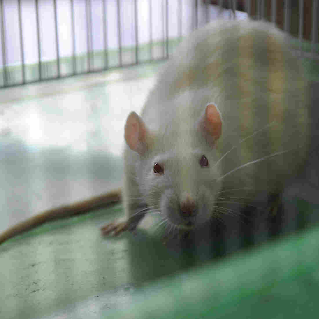 Genetically Modified Rat Is Promising Model For Alzheimer's