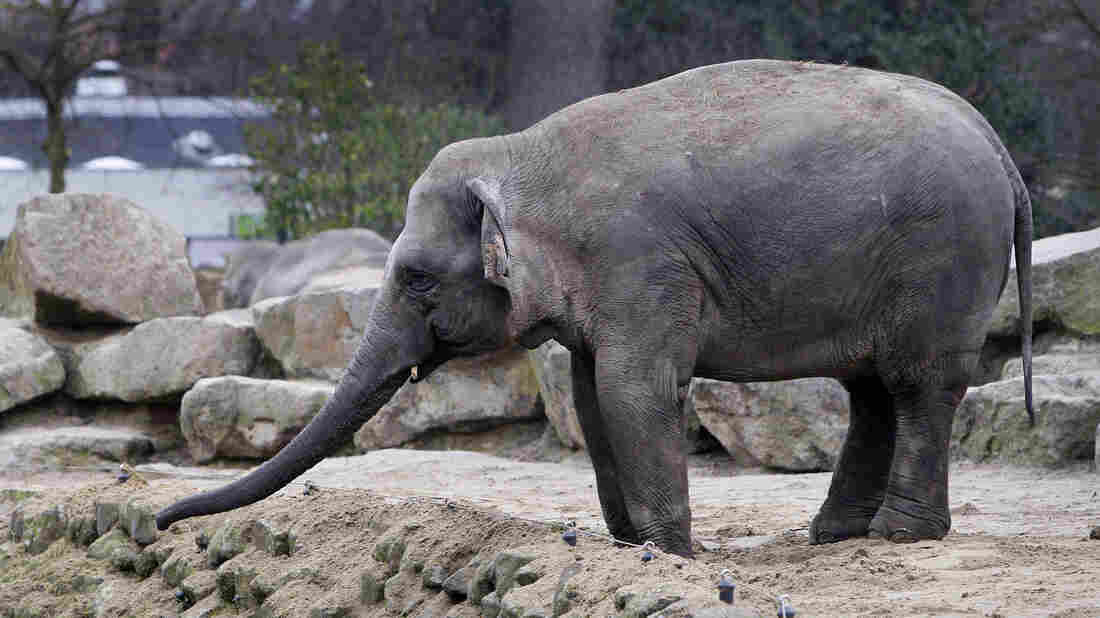 An elephant at the Emmen, Netherlands, zoo stands at the edge of a ditch in 2009, a day after another elephant fell into the ditch and died.