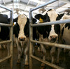 Cows wait to be milked at a California dairy farm.