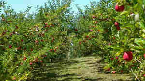 Organic apples hang from trees in an orchard in Forest Range, Adelaide Hills, South Australia.