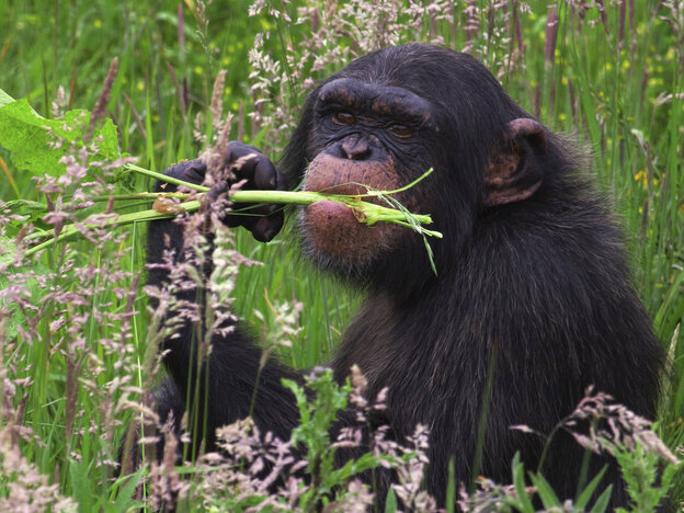 Is there a doctor in the house? Chimpanzees eat certain plants to rid themselves of parasites.