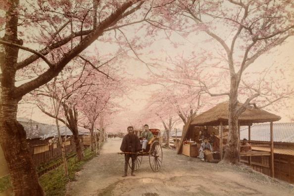 Japanese Cherry Blossoms, Circa 1890