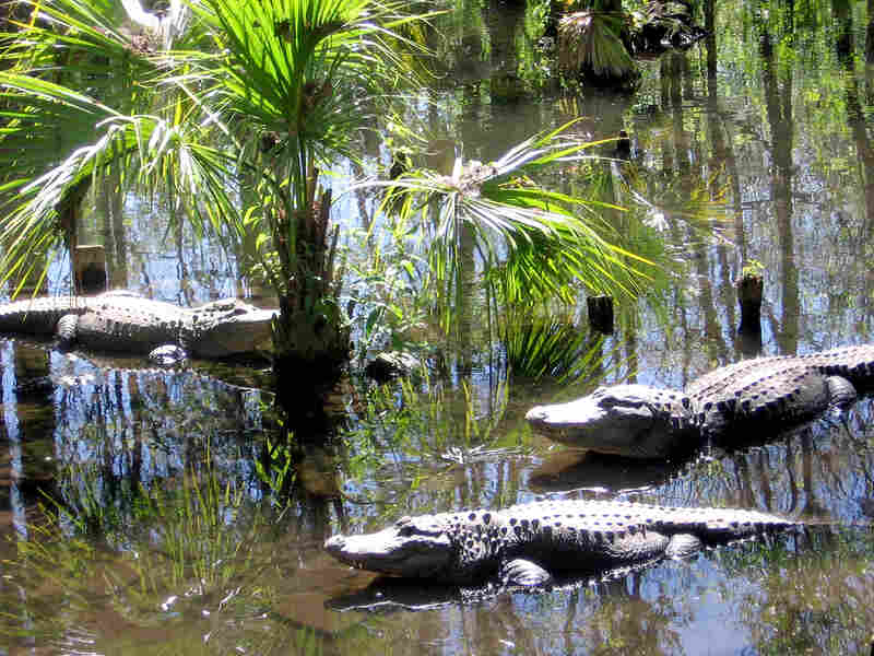 Alligators sun themselves along the waters of Silver Springs.