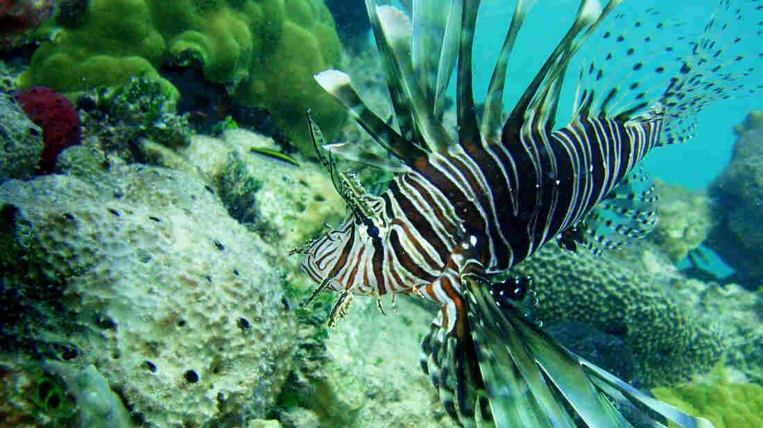 Lionfish, like this one spotted in the Bahamas, are a nonnative predatory fish that can decimate native fish populations.