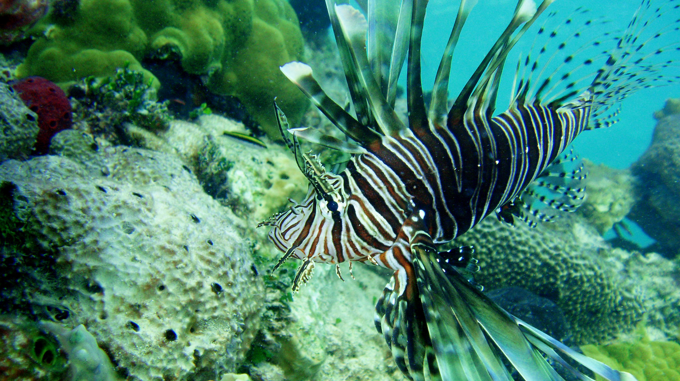 Lionfish Attacking Atlantic Ocean Like A Living Oil Spill ...