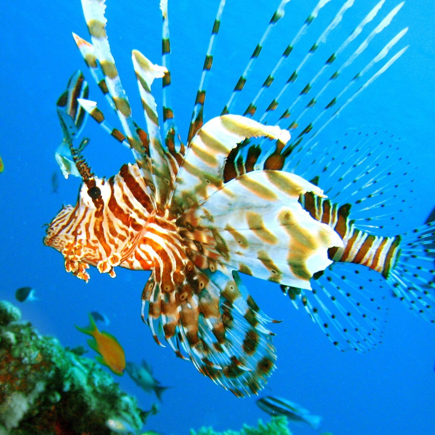 A lionfish bobs in Egypt's Red sea.