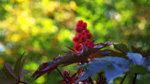 The bean of the castor-oil plant, Ricinus communis, is used in the production of castor vegetable oil and ricin, a poison.