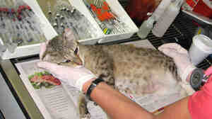 The Miami-based Cat Network operates a program that traps, neuters and releases feral cats back to their colonies. A bill before the Florida Legislature would offer legal protection to those programs.