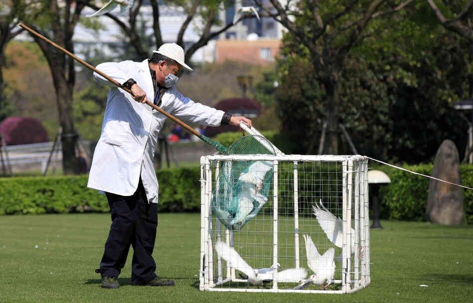 A health worker collects pigeons from a trap at People's Square in Shanghai, China, earlier this month. So far, workers have tested more than 48,000 animals for the H7N9 flu virus.