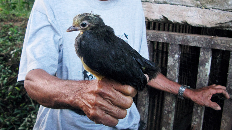 Poacher-turned-conservationist Karamoy Maramis, who works at Bogani Nani Wartabone National Park in Sulawesi, holds a maleo, a bird that exists in nature only on the Indonesian island. (NPR)