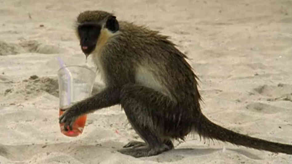 Monkey on beach