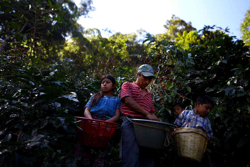 The best coffee comes from high altitudes with a warm climate like in Huehuetenango, Guatemala.