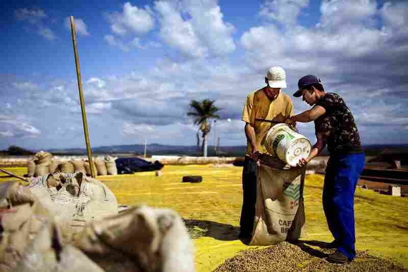 Forty percent of all coffee comes from Brazil. Here, coffee plantation workers pour sun-dried coffee beans into burlap sacks in Minas Gerais.