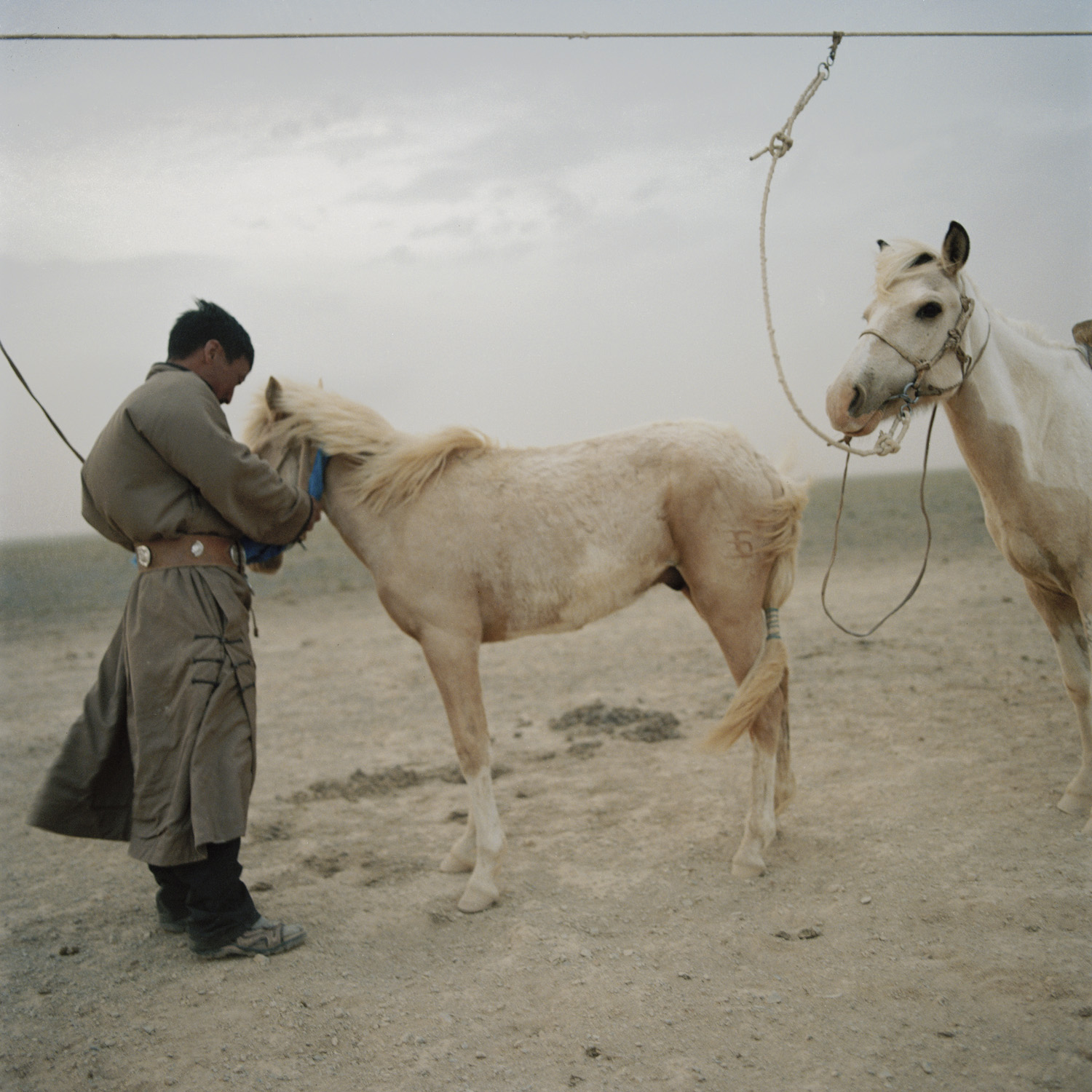 Tuvshinbayar ties up his horses to prevent them from escaping during a storm. Mongolia, Gobi, Omongovi, 2012.