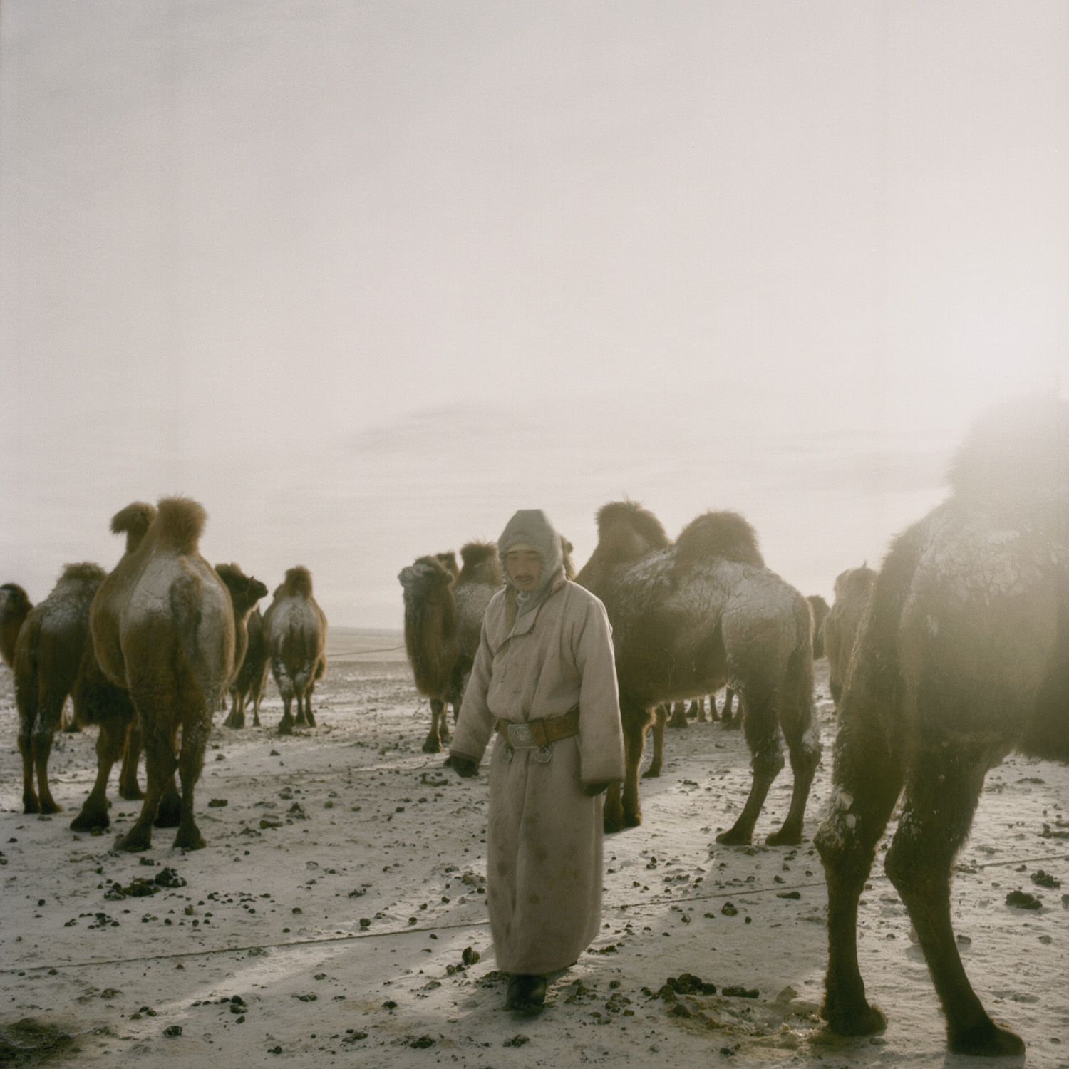 Tuvshinbayar milks camels before night. Mongolia, Gobi, Omongov, 2013.