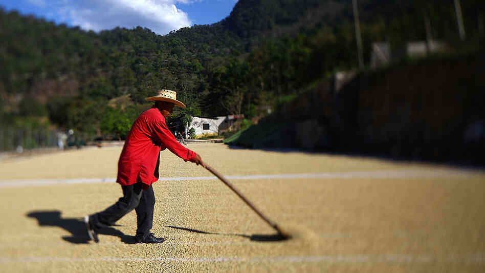 Coffee beans are raked to dry in the sun in western Guatemala.