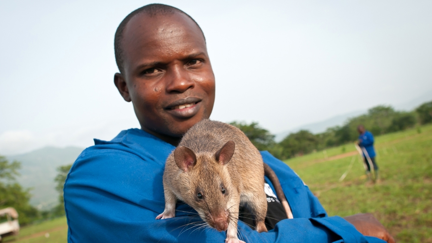 Ratting Out TB: Scientists Train Rodents To Diagnose ...