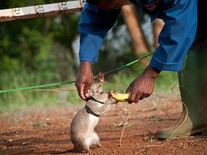 Harnessed up and ready to detect landmines: A rat earns a nibble of a banana after successfully sniffing out explosives at APOPO in Morogoro, Tanzania.