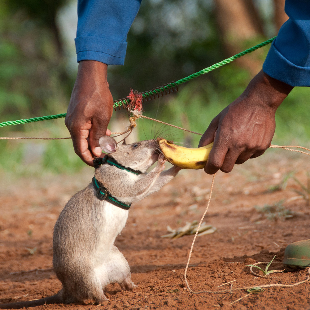 Harnessed up and ready to detect land mines: A rat earns a nibble of a banana after successfully sniffing out explosives at APOPO in Morogoro, Tanzania.