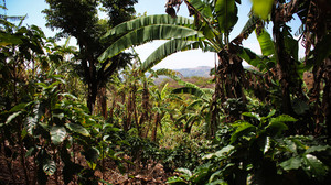 "Luis Fernando Vasquez's coffee farm in Costa Rica. Vasquez says farmers have changed their methods in recent years. Where they once would cut down trees, he says, ""now we are coming to understand that the tree plays a role"" in a healthy coffee plant ecosystem."