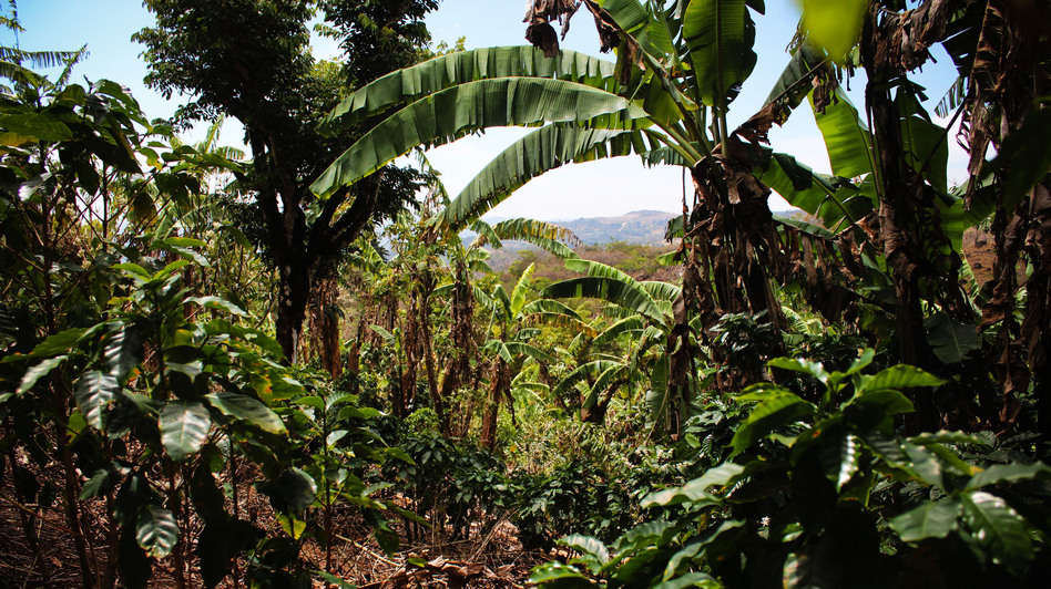 """Luis Fernando Vasquez's coffee farm in Costa Rica. Vasquez says farmers have changed their methods in recent years. Where they once would cut down trees, he says, """"now we are coming to understand that the tree plays a role"""" in a healthy coffee plant ecosystem. (NPR)"""