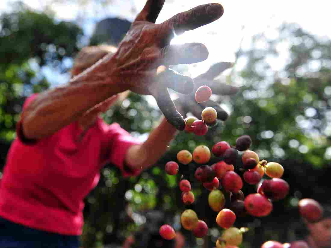 A worker collects coffee beans at a farm in Cuatro Esquinas, on the outskirts of Diriamba.