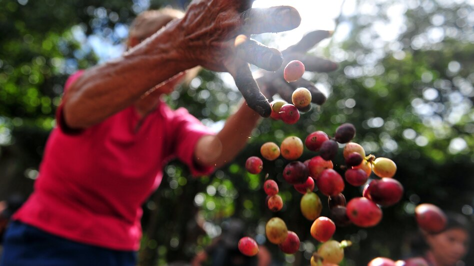 A worker collects coffee beans at a farm in Cuatro Esquinas, on the outskirts of Diriamba. (AFP/Getty Images)