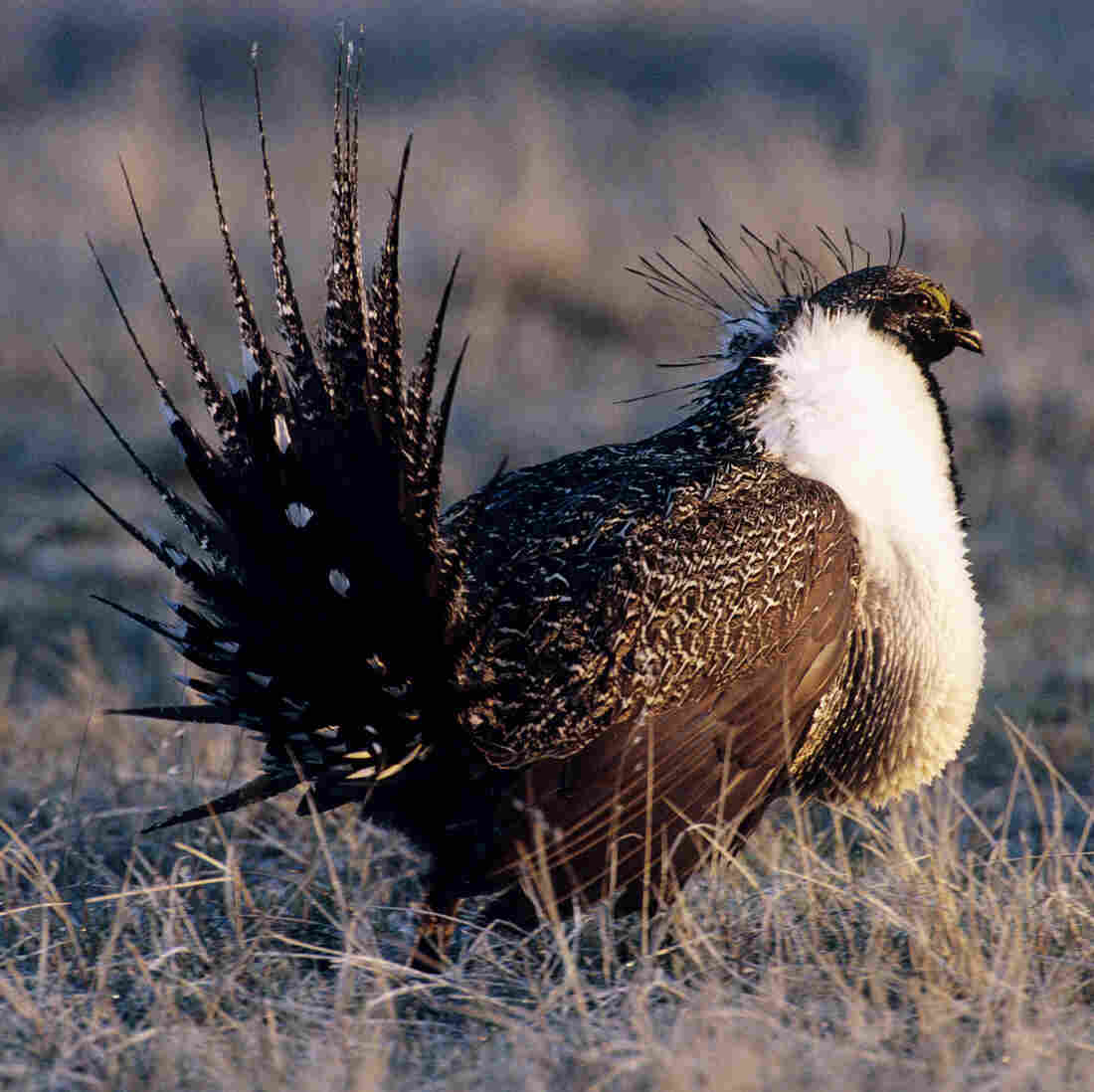 Researchers are using small remote-controlled planes to survey the populations of the greater sage grouse.