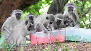 Monkeys Also Want To Eat Like The Locals