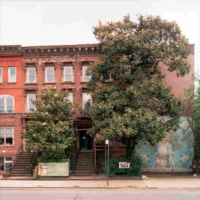 A southern magnolia in Bedford-Stuyvesant, Brooklyn, taken on June 3, 2010. The tree had a diameter of 20 inches and stood about 40 feet tall. The tree is 125 years old .