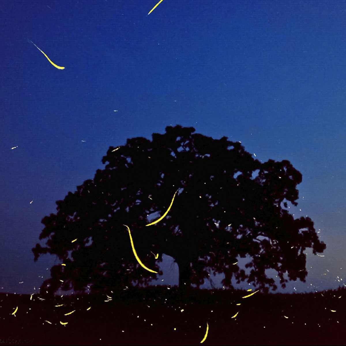 "July 2, 2012. In a timed exposure captured on an iPhone 4S using the iPhone app SlowShutter, the flight paths of fireflies leave yellow brush strokes as they fly in and around ""That Tree"" at dusk."