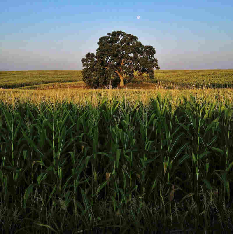 "Aug. 4, 2012. Summer corn grows tall around ""That Tree."""