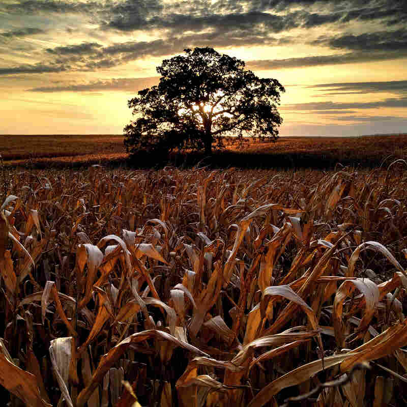"Oct. 9, 2012. ""In what is probably one of my last photographs of 'That Tree' with corn still standing in the field, I wanted to make one last sunset photo before the harvest."""