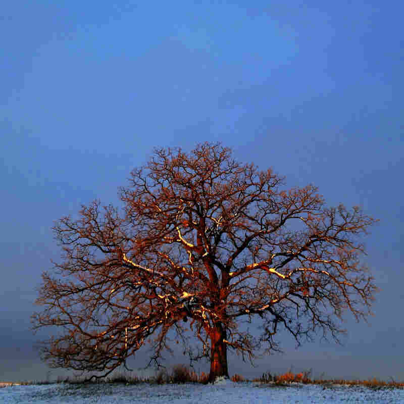 "Dec. 11, 2012. With snow clinging to its branches from an evening snowstorm, the first light of day paints ""That Tree"" with a crimson light against a cold, blue sky."