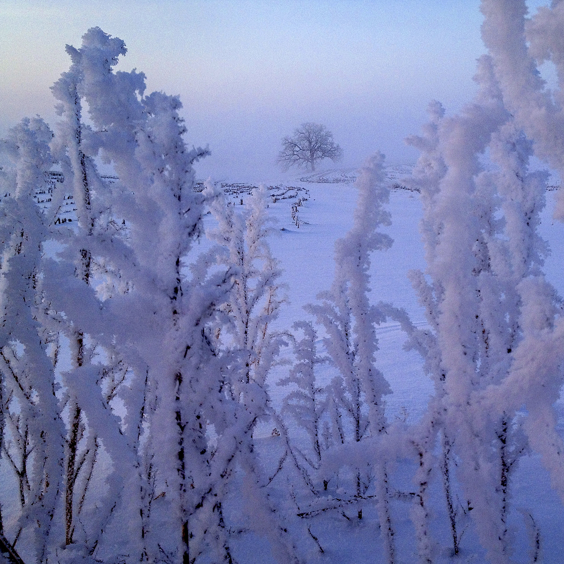 "Feb. 6, 2013. Like a scene from the land of fairy, ""That Tree"" rises ethereal from the enchanted mists with hoarfrost encrusting the landscape."