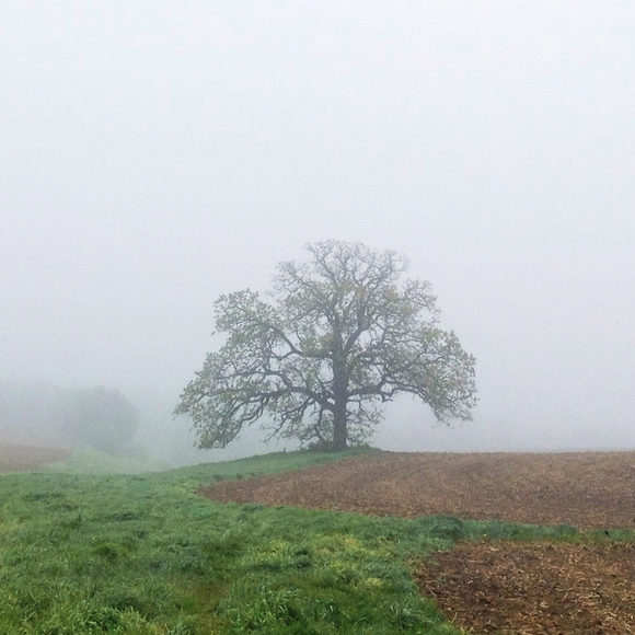 "April 30, 2012. ""That Tree"" is an ancient Bur Oak growing on the edge of a cornfield near Platteville, Wis."
