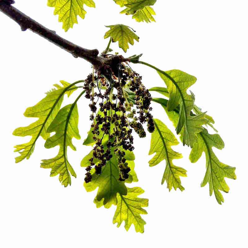 """May 1, 2012. Staminate and semitransparent early growth leaves hang from a branch of """"That Tree."""""""