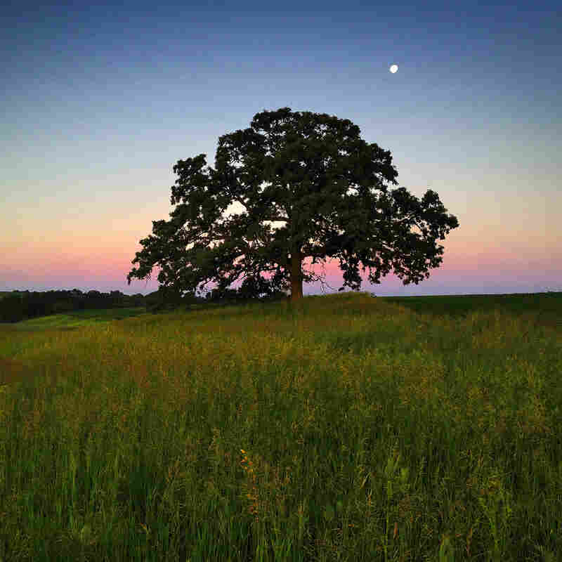 "June 6, 2012. Dawn light creates an enchanted feeling as the moon sets beyond ""That Tree."""
