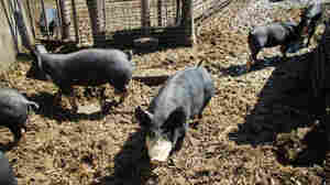 Berkshire pigs on Happy Hula Farm, a member of the Eden Farms collective.