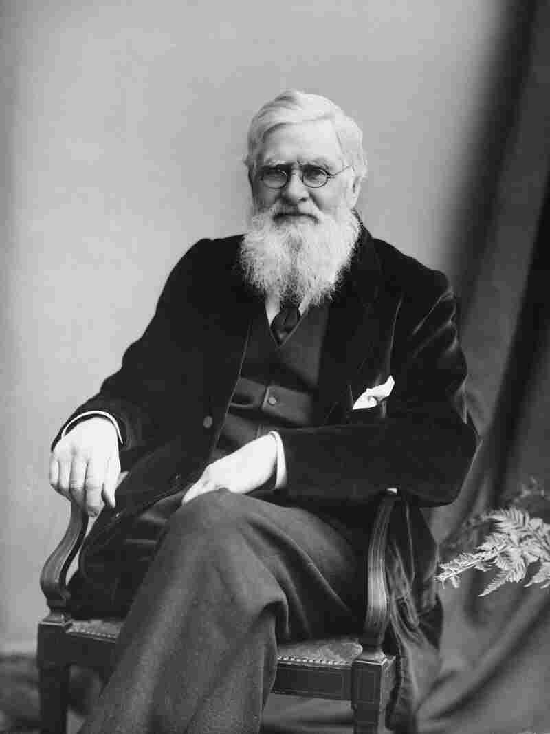The research of British naturalist Alfred Russel Wallace (1823-1913) played a pivotal role in developing the theory of natural selection. But over time, Charles Darwin became almost universally thought of as the father of evolution.