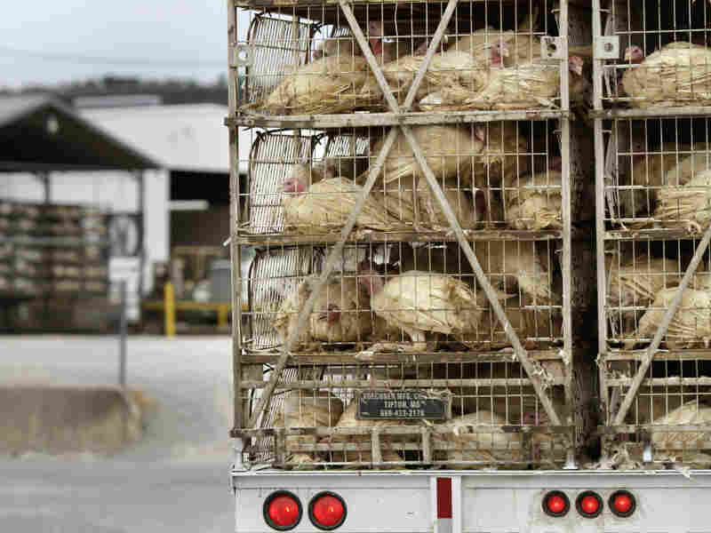 A truckload of live turkeys arrives at a Cargill plant in Springdale, Ark., in 2011. Most turkeys in the U.S. are regularly given low doses of antibiotics.