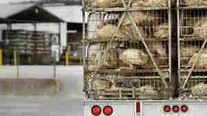 A truckload of live turkeys arrives at a Cargil