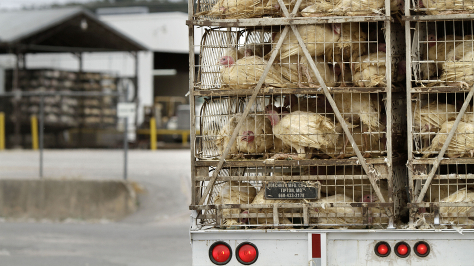 A truckload of live turkeys arrives at a Cargill plant in Springdale, Ark., in 2011. Most turkeys in the U.S. are regularly given low doses of antibiotics<em></em>.