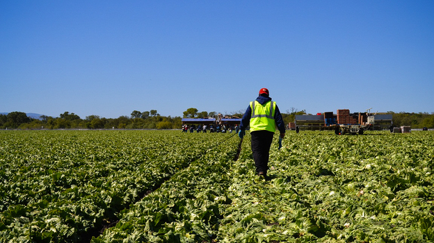 American farms like this iceberg lettuce field owned by Duda Farm Fresh Foods outside Salinas, Calif., are facing a dwindling supply of farmworkers from rural Mexico. (Kirk Siegler)