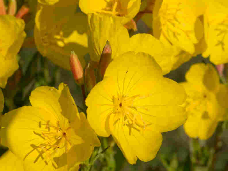 Evening primrose, also known as sundrops, may be more useful in the garden than in the medicine cabinet.