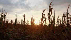 Corn plants dry in a drought-stricken farm field near Fritchton, Ind., last summer.