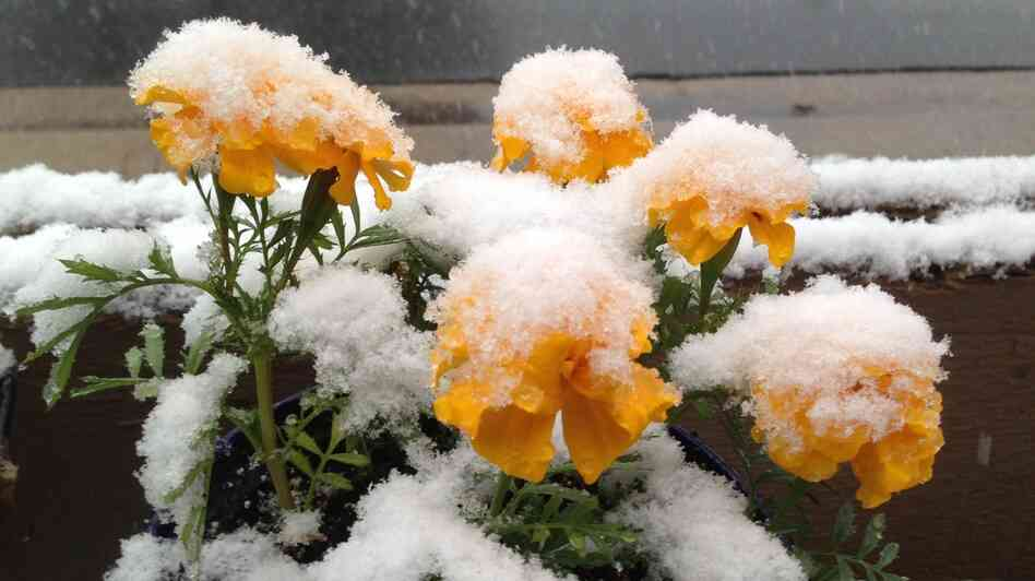 Snow clings to flowers in Denver on Wednesday. As much as a foot of snow is forecast for some areas of Colorado.